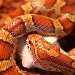 Schlangenfütterung