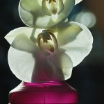 Orchidee mit Bokeh