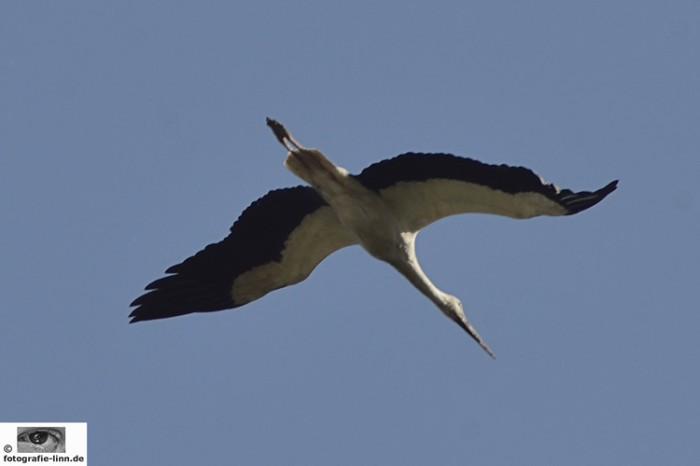 Storch im Flug 2