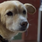 Tango-Hund
