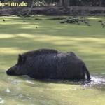 badenes Wildschwein