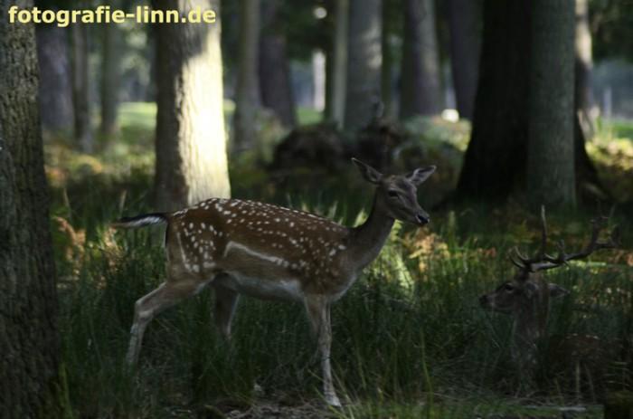 Damtier im Wald