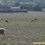 Schafe im Gegenlicht