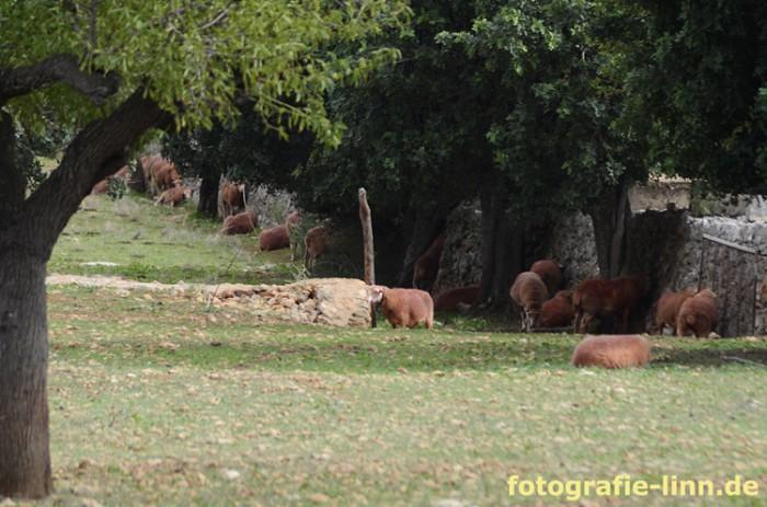 Schafherde mit rotem Fellr
