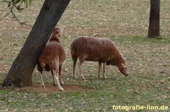 rote Schafe Mallorca