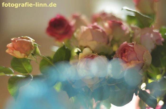 Rosen mit blauem Bokeh