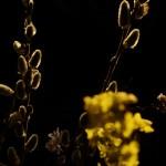 Weidenkätzchen im Gegenlicht