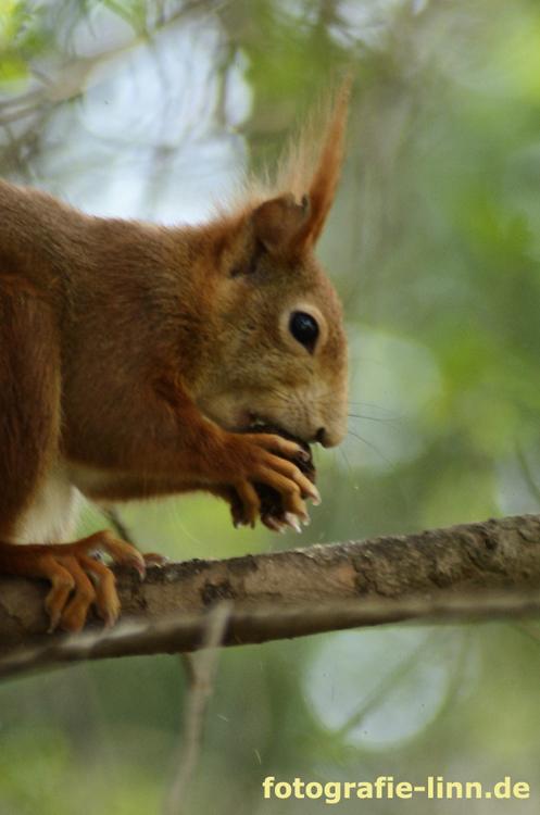 Eichhörnchen im Sommerhoffpark