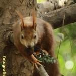 Eichhörnchen frontal