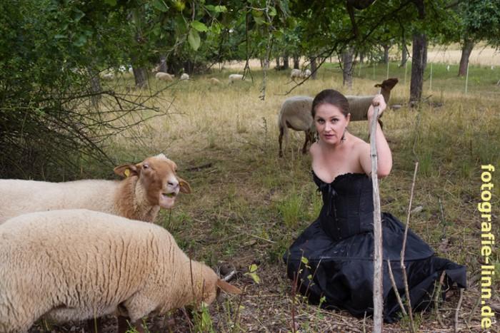 Schafe fressen Äpfel