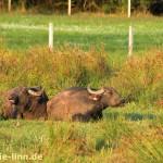 Büffel in der Abendsonne