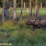 Büffel in Bewegung