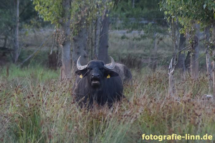 Wasserbüffel frontal