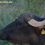 Büffel-Portrait