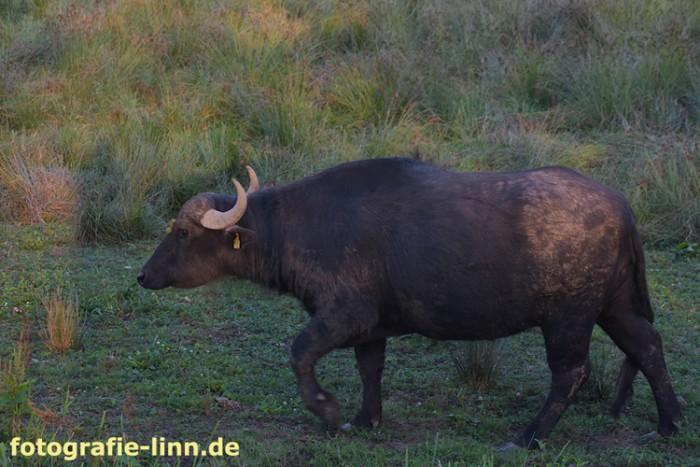 junger Wasserbüffel 2