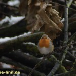 Rotkehlchen im Wald