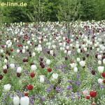 Blütenmeer mit Tulpen