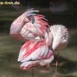 streitende Flamingos