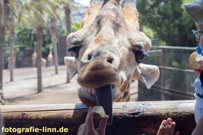 Giraffe wird gefüttert