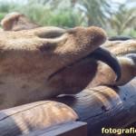 Giraffenzungen