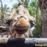Giraffe frontal