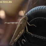 Heuschrecke auf dem Schuh