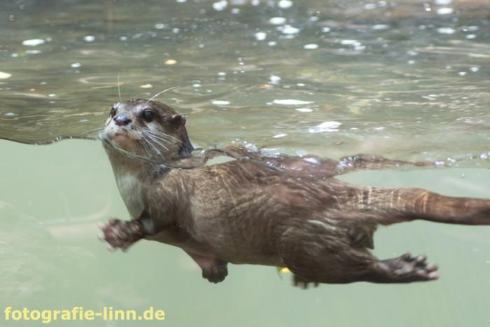 schwimmender Otter