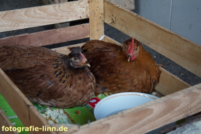 Hühner im Basar