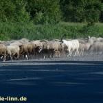 Schafherde mit Ziegenbock