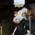 gefleckte Kühe