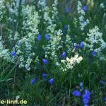 Blumenwiese blau-weiß