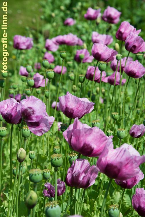 Mohnblumen in violett