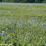 Kornblumenmeer