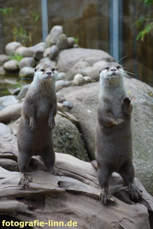 neugierige Otter