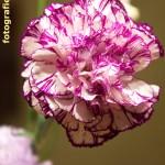 Nelkenblüte