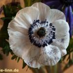 Anemone mit Blütenstaub