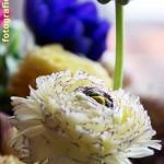 Ranunkeln und blaue Anemonen