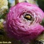 rosa Ranunkel