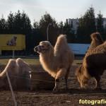 Kamele im Gegenlicht