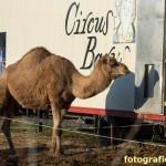 Kamel am Zirkuswagen