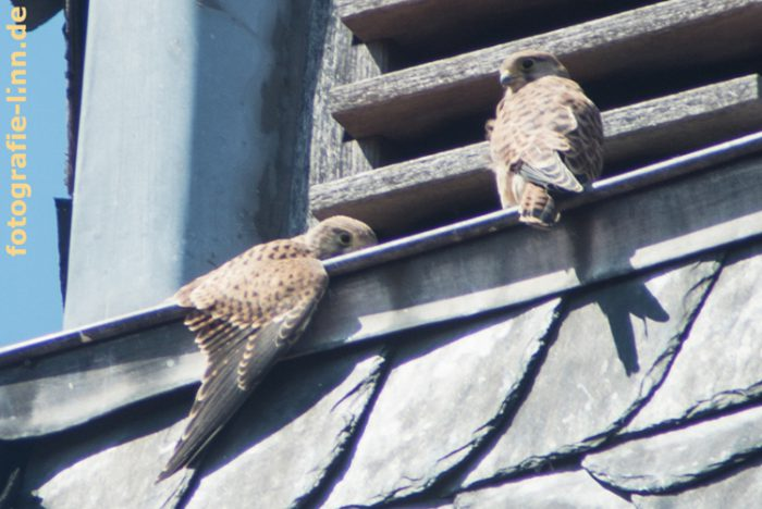 Zwei junge Turmfalken auf Fenstersims